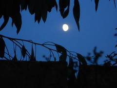 Moon (tickatape) Tags: blue trees moon colour nikon coolpix compact 2010 s3000 silhouettesshadows cmwdblue