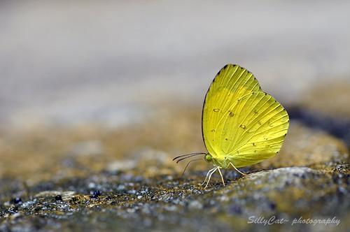 Common Grass Yellow(Eurema hecabe)-寬邊黃粉蝶-720