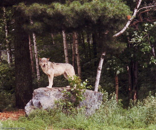 International Wolf Center - Ely, MN-5