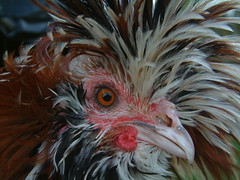 Tolbunt Polish face (fire22kolar) Tags: portrait detail macro eye chicken face colorful farm polish poultry rooster cockerel frizzled tolbunt