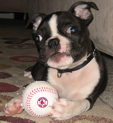 redsoxpuppy copy