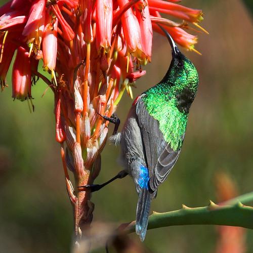Lesser Doublecollared Sunbird (Nectarinia chalybea)