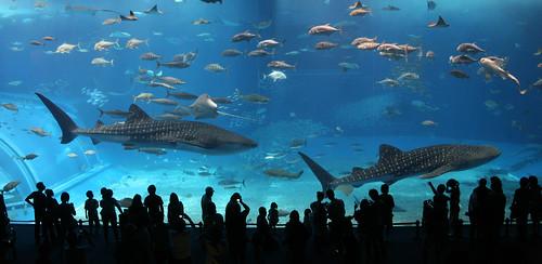 cautiverio Tiburón Ballena en Okinawa Churaumi Acuario