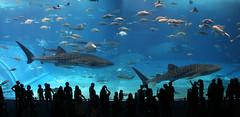 Okinawa Churaumi Aquarium (Greg Miles) Tags: japan okinawa supershot okinawachuraumiaquarium oceanexpopark nagocity