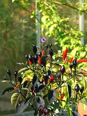 Black chillis - by ramson