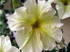 limoncello petunia