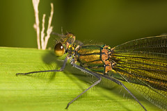 "Female Beautiful Demoiselle Damselfly(3) • <a style=""font-size:0.8em;"" href=""http://www.flickr.com/photos/57024565@N00/1340725201/"" target=""_blank"">View on Flickr</a>"