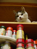 Rory on an upper shelf above the spice rack in a kitchen cupboard.
