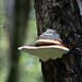 Austrian tree fungus