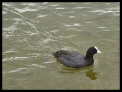 Swimming Coot (ExeDave) Tags: uk england lake bird devon waterfowl coot newtonabbot decoy fulicaatra commoncoot wildbird decoycountrypark
