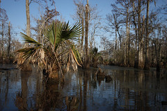 Palmam Qui Meruit Ferat (Nola Nate) Tags: trees reflection nature water landscape louisiana palm swamp wetlands palmetto sabal ibeauty bottomlandhardwoodforest maurepasswamp