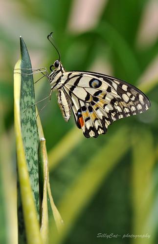 Common Lime Butterfly ( Papilio Demoleus)
