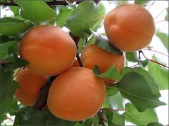 Blenheim Apricots, 2010