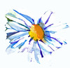 Painted Daisy clipart
