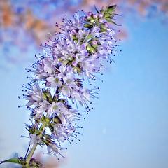 purple and white_9212 (mondays child) Tags: white plant flower nature purple grow unknown bud budding
