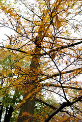 Golden larch (Pseudolarix amabilis)