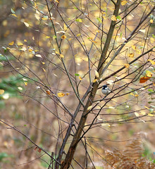 No hiding place! (SteveJM2009) Tags: uk autumn light sun colour tree bird beauty leaves woodland tit bare branches hampshire sunlit leafless twigs newforest stevemaskell rspb hants coaltit periparusater sorethumb awesomeautumn nohidingplace