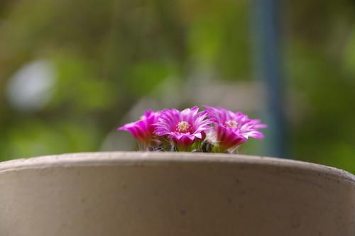 サボテン月影丸の花