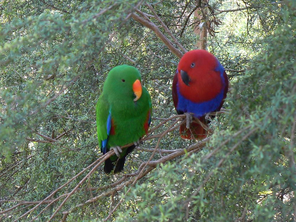 Male & Female Eclectus Parrots