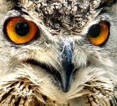 v (Hamed Saber) Tags: bird eye animal closeup geotagged bill persian eyes iran beak persia gouge owl saber iranian tehran  hamed rostrum farsi