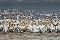 427 - Lake Nakuru (FO Travel) Tags: kenya nairobi nakuru karama lewa baringo naivasha turkana gabra chalbi suguta nariokotome kalacha loyangalani logipi