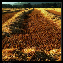 Tiempo de siega (Paco CT) Tags: light luz field barley yellow landscape searchthebest paisaje amarillo campo vegetal 2007 cebada naturesfinest flickrsbest mywinners anawesomeshot ltytr1 infinestyle pacoct