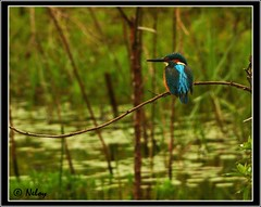 Kingfisher 2 (Neloy) Tags: india bird canon bangalore kingfisher alcedoatthis neloy machranga