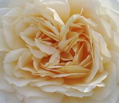 Creamy (yorksgalSue pain is a pain) Tags: flower rose leeds peach soe goldenacrepark impressedbeauty diamondclassphotographer flickrdiamond flowerscolours queenrose