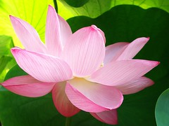 Pink lotus (tanakawho) Tags: pink plant flower macro nature sunshine leaf shiny lotus petal mywinners tanakawho superbmasterpiece