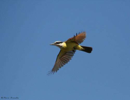 O vo do Bem-te-vi (Pintangus sulphuratus) - The Great kiskadee's flight 52 10-08-07 069