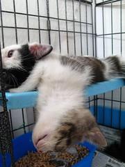 Smee can sleep in any position (Taking5) Tags: sleeping cats cute funny kittens cheeky cuties smee jacksparrow pushy piratekittens