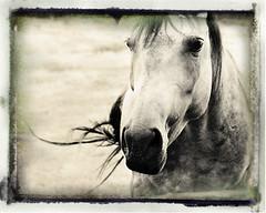 perceptive spirit...the horse and unconditional love (Kelly Angard) Tags: horse art nature beauty spirit equine anseladams perceptive kellya perceive kellyangard kellyafineartphotography theartoflight