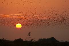 Image17 (Karim Denmark) Tags: blacksun starlings str sortsol