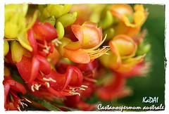 Castanospermum australe  (kadai) Tags: australia blackbean fabaceae magicbean castanospermumaustrale castanospermum arfp australianrainforestplants mortonbaychestnut blackbeantree arfflowers orangearfflowers tropicalarf subtropicalarf nswrfpqrfp