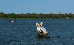 Urban Nature (TexasEagle) Tags: cormorants dallas texas urbannature whiterocklake pelecanuserythrorhynchos whitepelicans beautifulworldchallenges