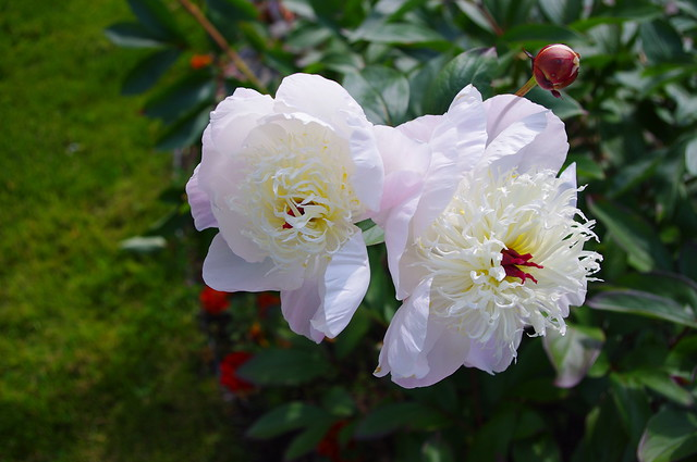 Peonies in my parents yard