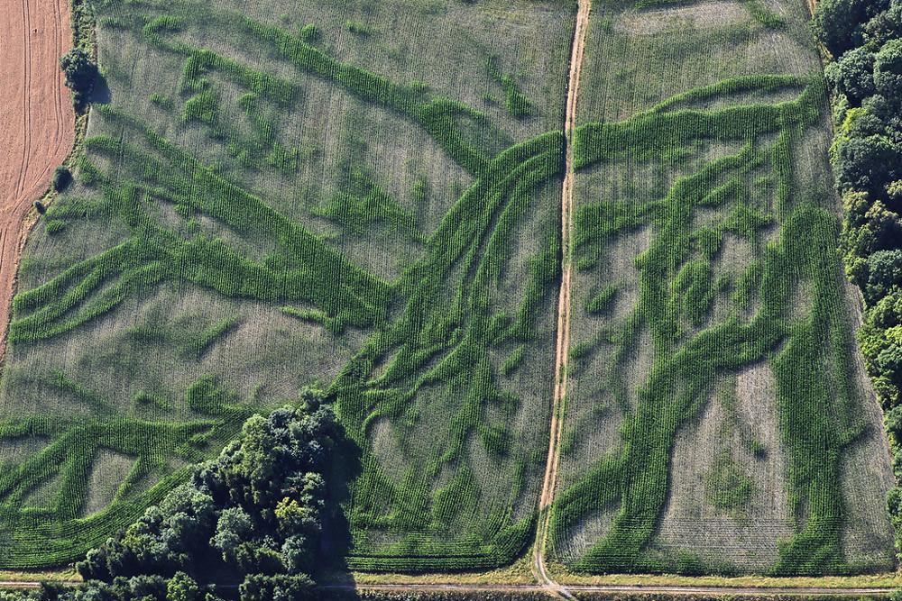 Luftbild von den Spuren alter Wasseradern im Maisfeld bei anhaltender Trockenheit
