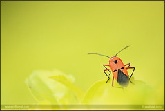 Bugging.. :) (swaheel) Tags: red india blur macro green nature colors up digital canon bug insect eos rebel kiss close zoom bokeh bangalore kerala ponder efs creamy xsi x2 kottakkal karanataka bengaluru 450d malappuram 55250 swaheel 55250is