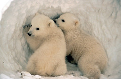 Polar bear cubs.