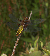 "Female Broad-Bodied Chaser (Libellula depressa) • <a style=""font-size:0.8em;"" href=""http://www.flickr.com/photos/57024565@N00/531861812/"" target=""_blank"">View on Flickr</a>"