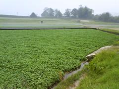 loadsa watercress