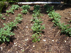 potatoes are growing (keithorama) Tags: ecovillage