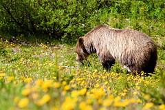 grizzlyIMG_5707_2 (roobicon) Tags: bear park wild canada animal kananaskis wildlife rob