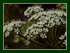 Natures own (Kirsten M Lentoft) Tags: white flower nature soe elegance naturesfinest masterphotos abigfave impressedbeauty momse2600 kirstenmlentoft