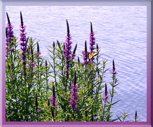 Fluttering -- flowers water park flora continuum butterflies frames nockamixon parks state nockamixonstatepark stateparks