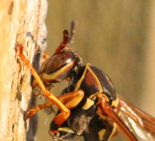 polistes paper wasp fence 02