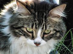 Coogle enjoying the outside (Chickadee (Carole)) Tags: pet cat feline chat kitty whiskers bestofcats impressedbeauty