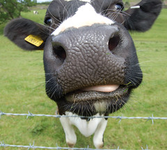 Silly Cow - now over 71,000 views! (whitbywoof) Tags: silly d50 cow nikon thumbsup priory 50000 yorkshiredales ripon explored flickrchallengegroup flickrchallengewinner thechallengegame challengegamewinner friendlychallenges beginnerdigitalphotographychallengewinner diamondawardwinner jesterswinners goldenheartaward