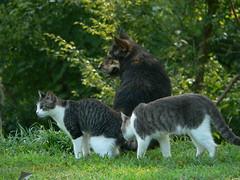 Cats #7 (and Nina):  Sally and Gerbil 8/4/07 (robert_rvnwd) Tags: gerbil sally nina