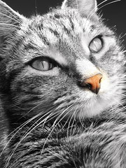 A touch of pink (MiaRossy) Tags: pink cat nose omar kissablekat bestofcats boc0807